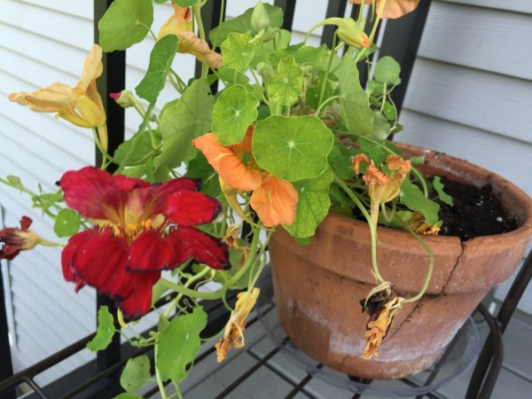 Nasturtiums Make Simple Salad Special - Arthritis Wisdom